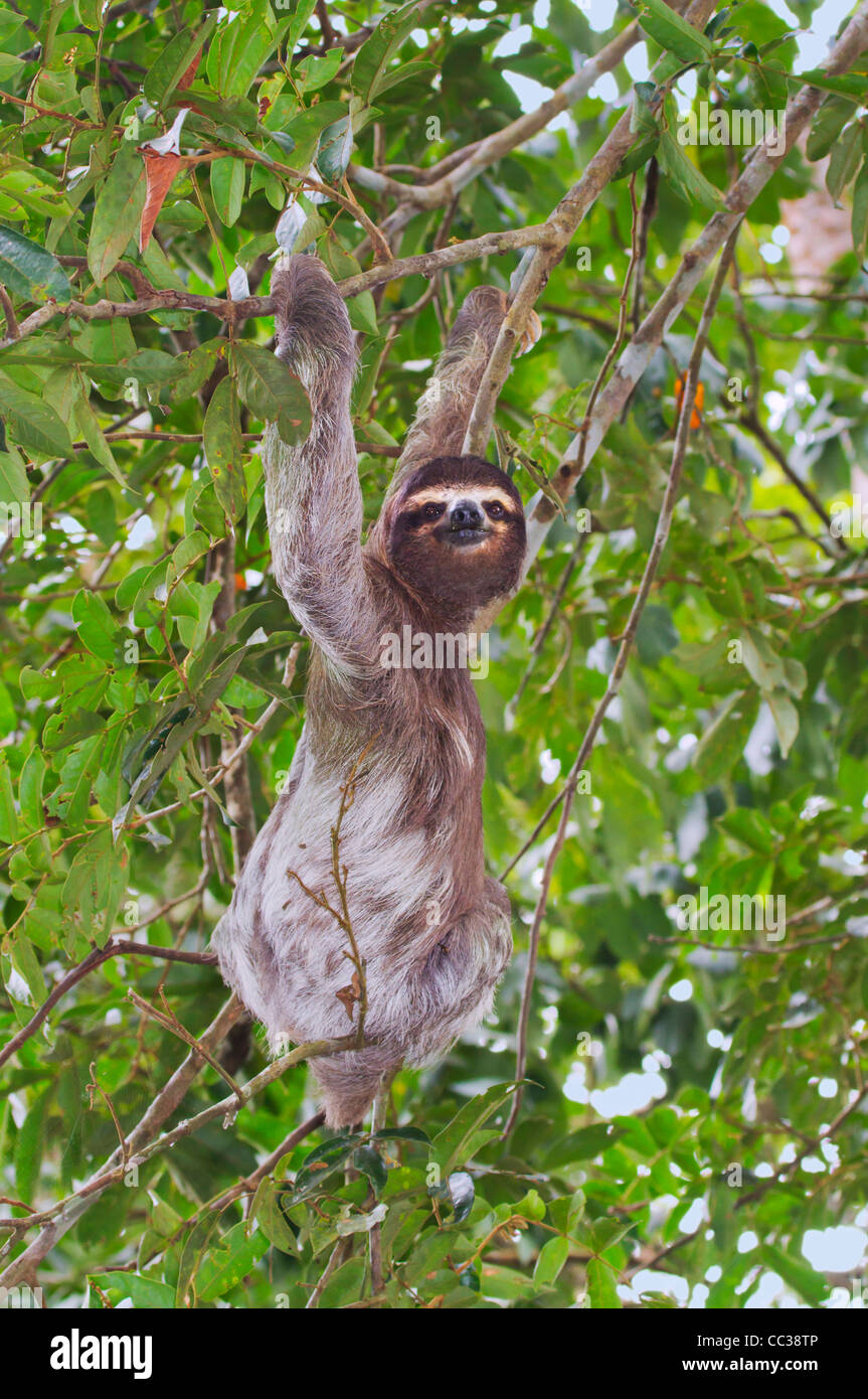 Three-toed brown-throated sloth (Bradypus variegatus) in the rainforest canopy. Stock Photo