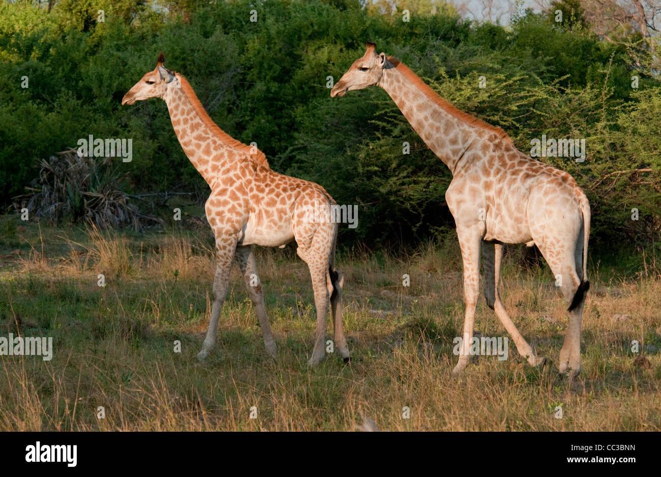 Africa Botswana Tuba Tree-Two South African Giraffes walking (Giraffa camelopardalis) - Stock Image