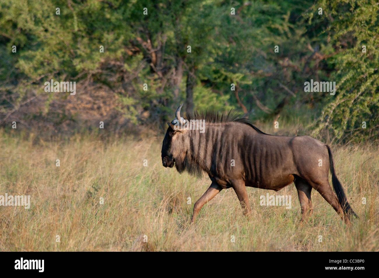 Africa Botswana Tuba Tree-Blue Wildebeest walking (Connochaetes taurinus) - Stock Image
