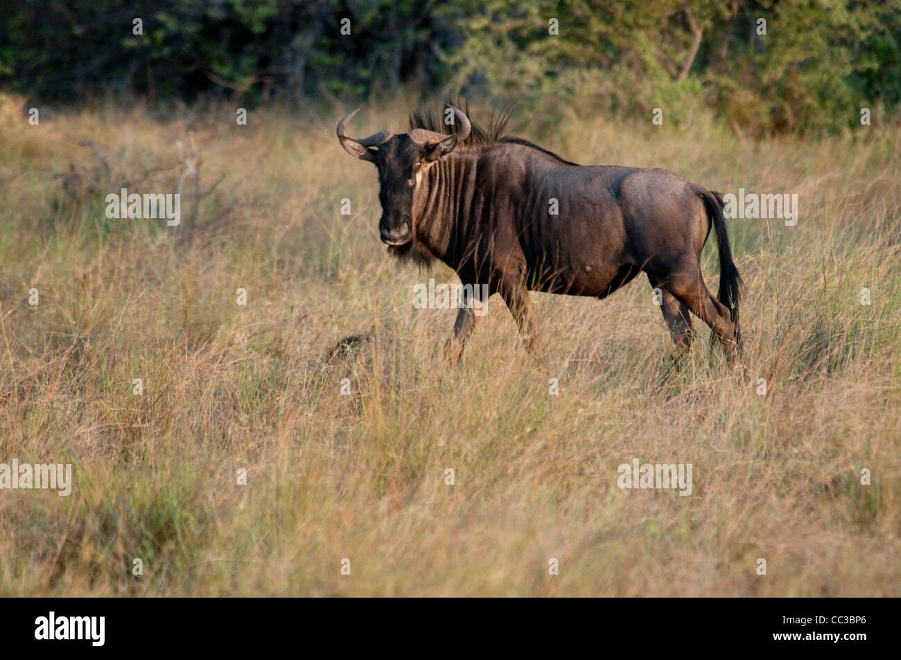 Africa Botswana Tuba Tree-Blue Wildebeest standing (Connochaetes taurinus) - Stock Image