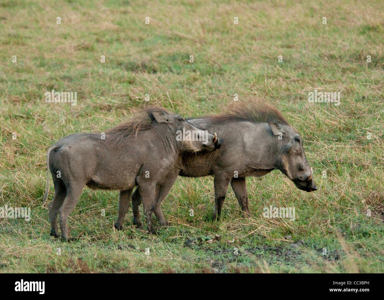 Africa Botswana Tuba Tree-Warthog touching other (Phacochoerus africanus) - Stock Image