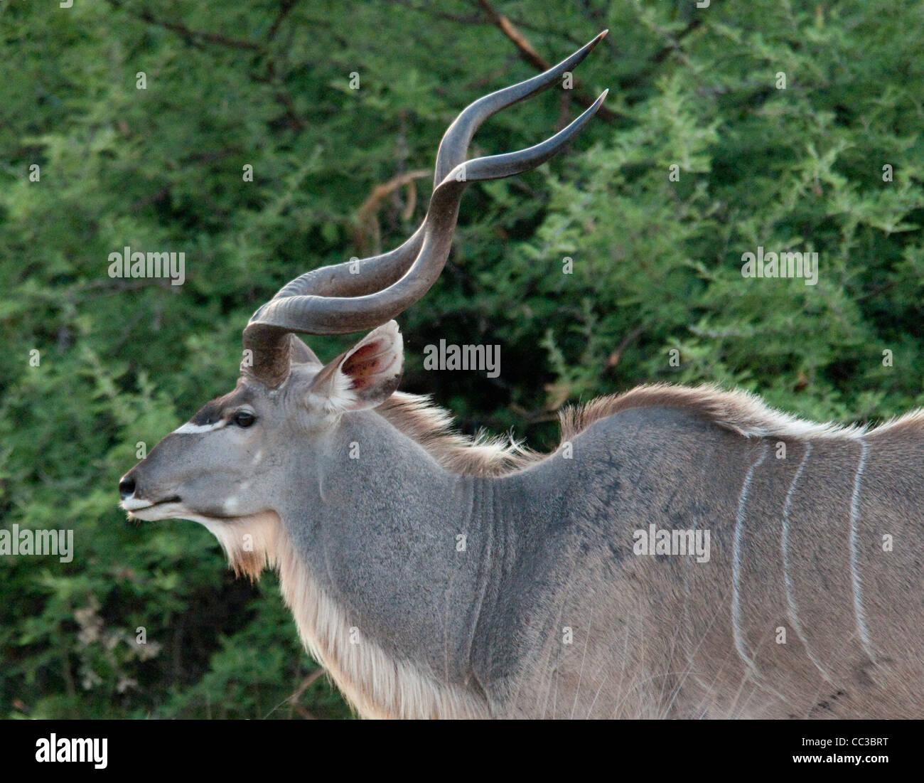 Africa Botswana Tuba Tree-Greater Kudu (Tragelaphus strepsiceros) Close up - Stock Image