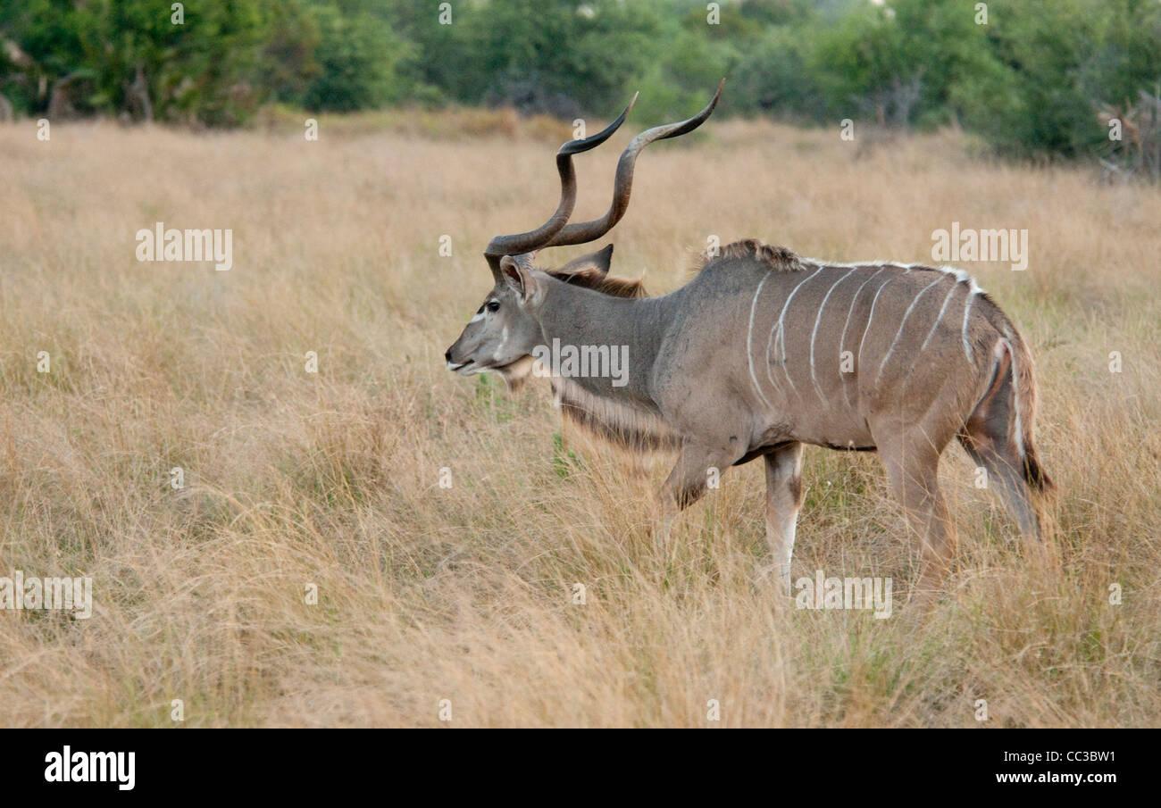 Africa Botswana Tuba Tree-Greater Kudu walking (Tragelaphus strepsiceros) - Stock Image