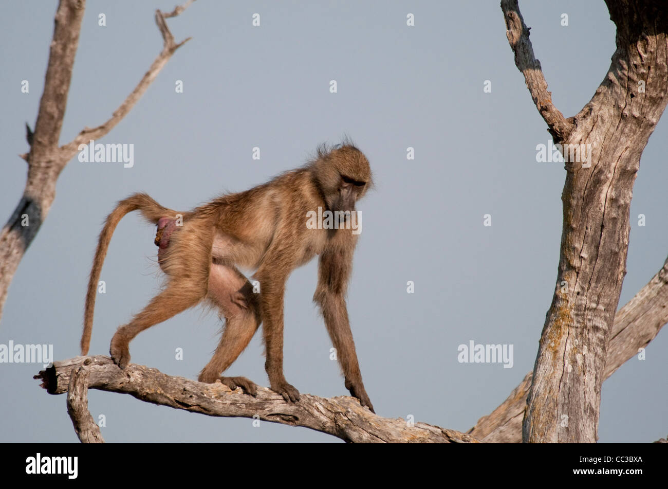 Africa Botswana Tuba Tree-Chacma baboon walking on tree limb (Papio ursinus) Stock Photo