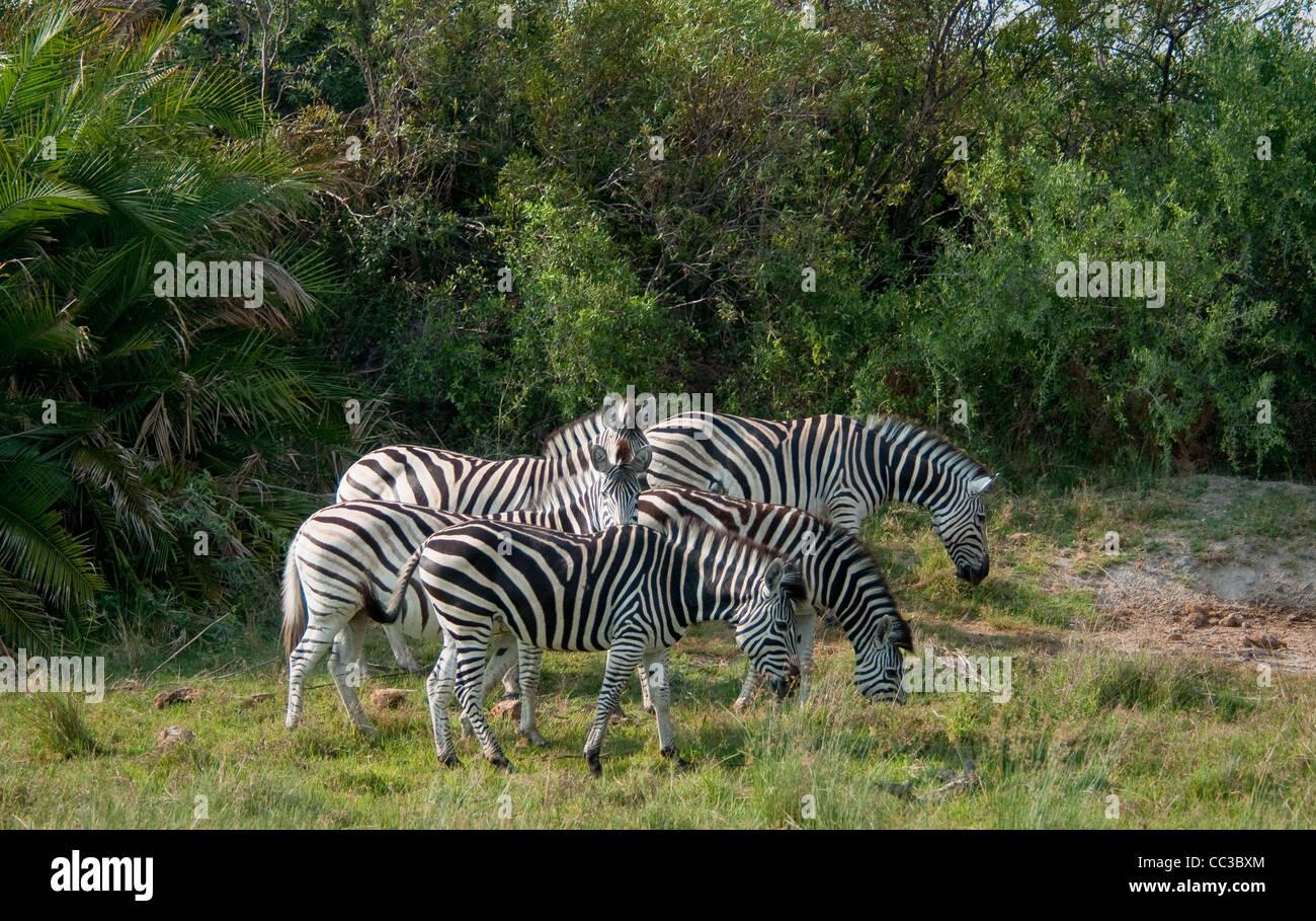 Africa Botswana Tuba Tree-Burchell's Zebras in plains (Equus burchellii) - Stock Image