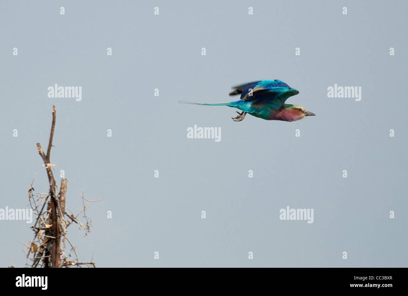 Africa Botswana Tuba Tree-Lilac-Breasted Roller flying (Coracias caudatus) - Stock Image