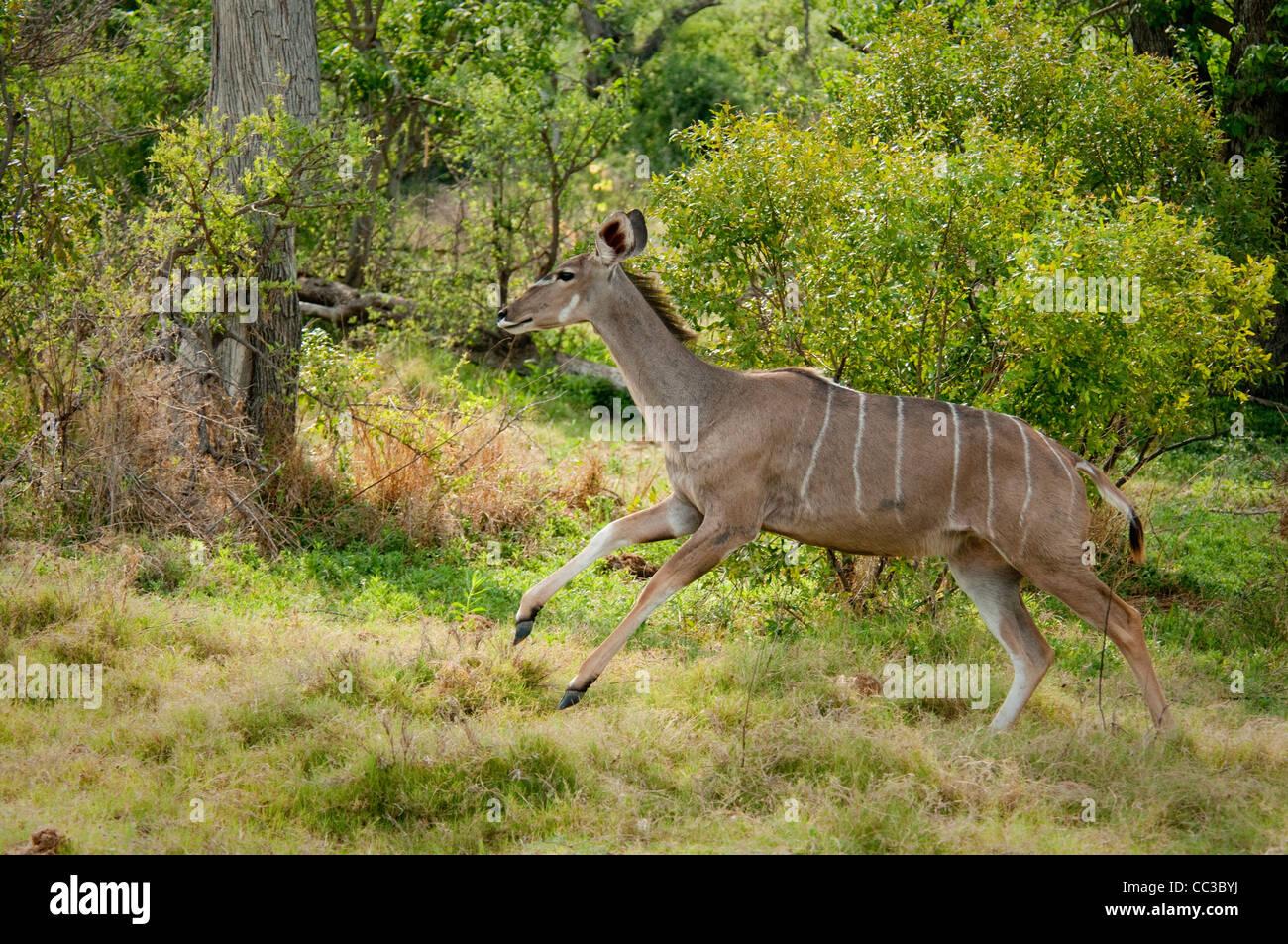 Africa Botswana Tuba Tree-Greater Kudu running (Tragelaphus strepsiceros) - Stock Image