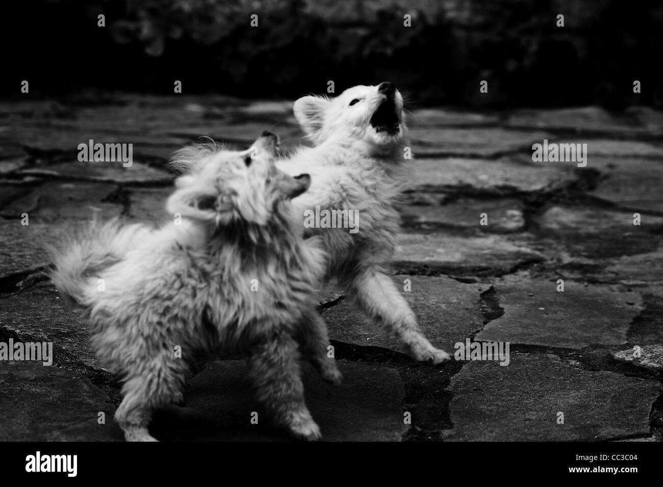 Himalayan puppies, dogs playing - Stock Image