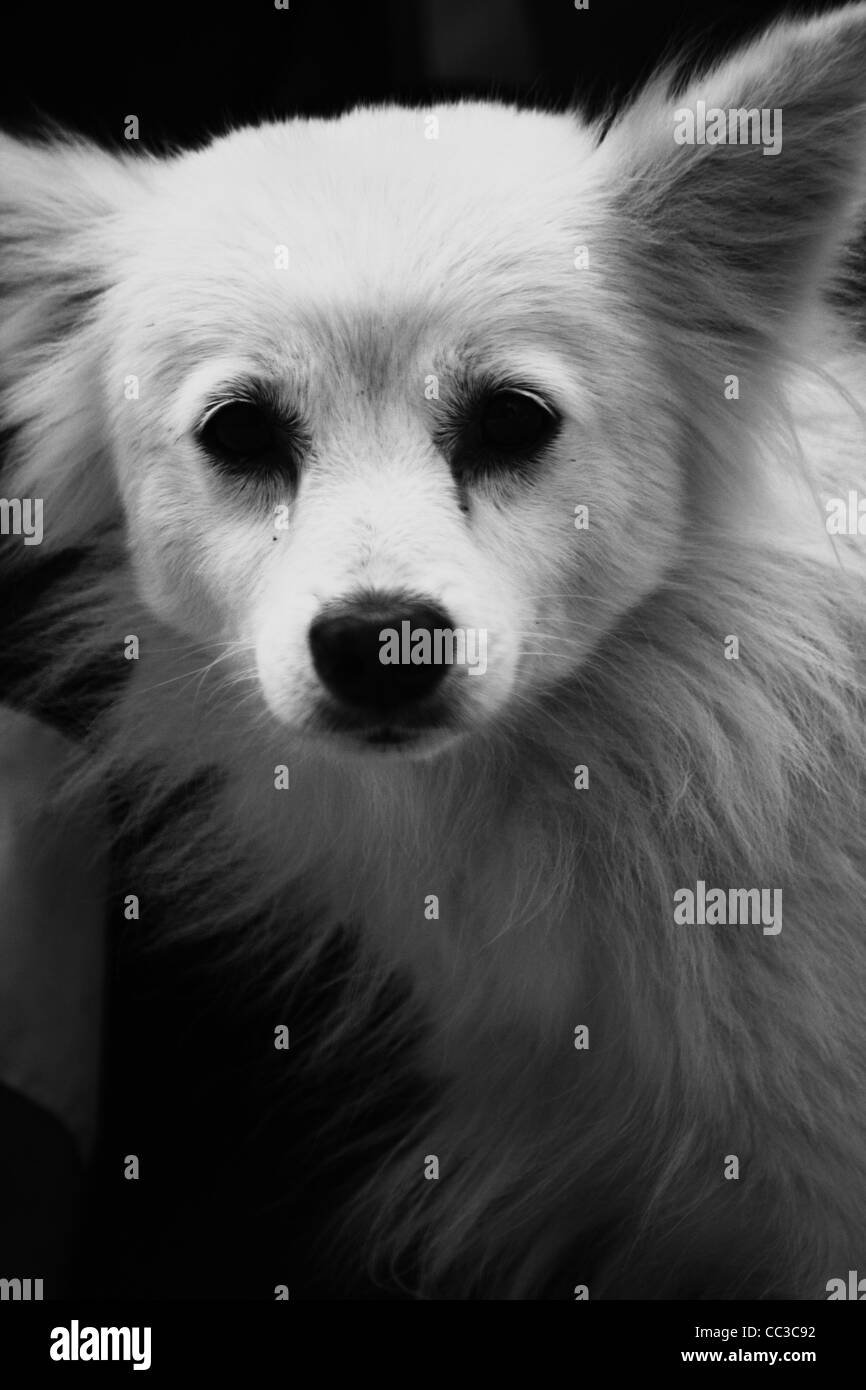 Indian Pomeranian Stock Photos Indian Pomeranian Stock Images Alamy