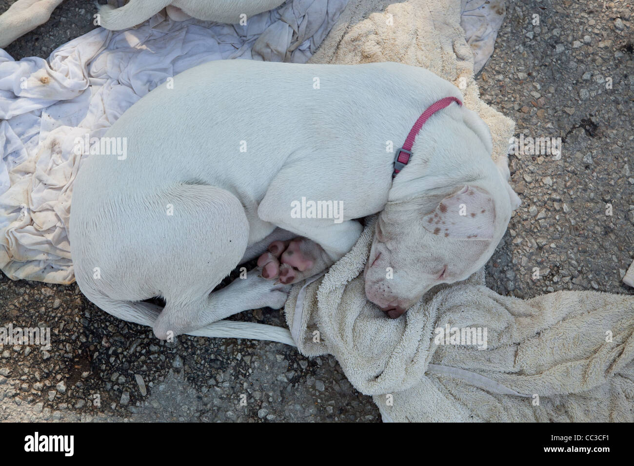 A sleeping female, white American pitbull puppy - Stock Image