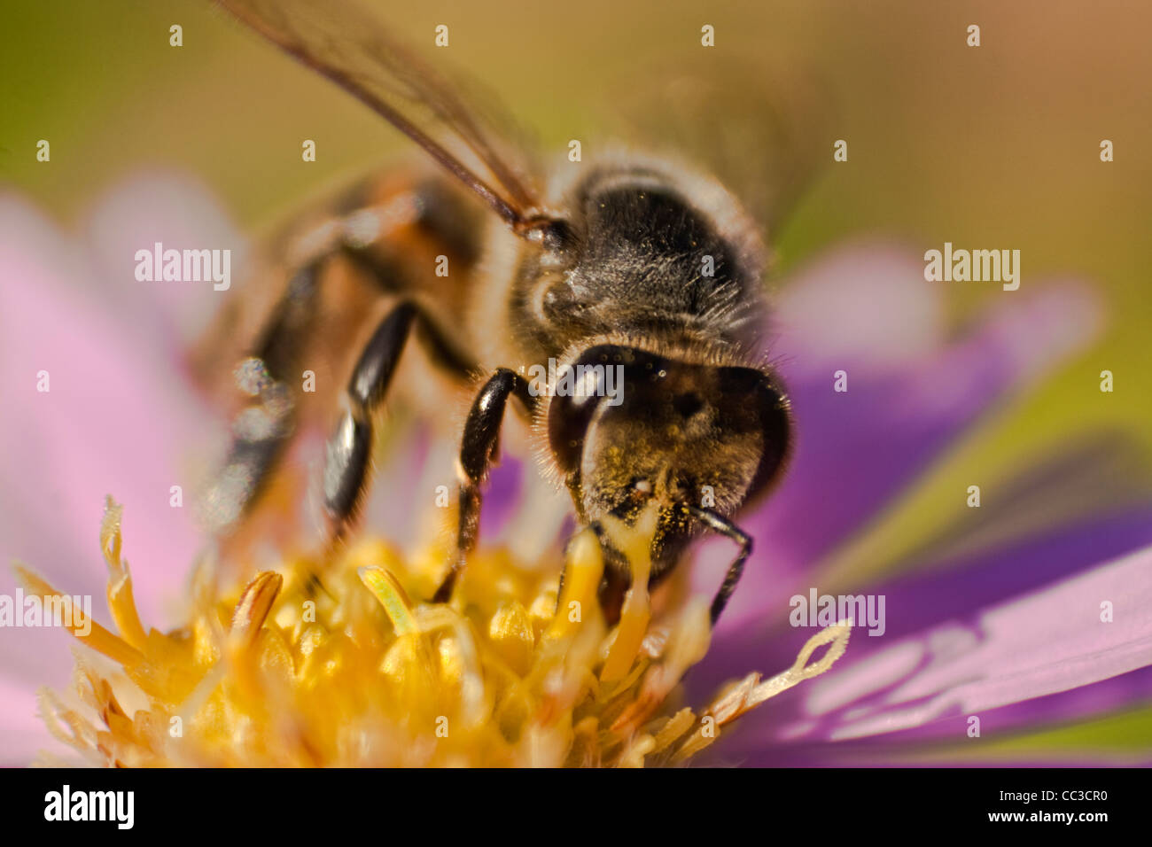 close up of a honey bee on a flower (Apis mellifera) - Stock Image