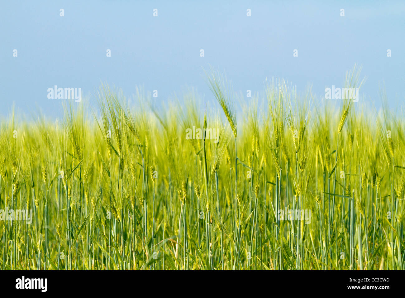 wheat field under a blue sky - Stock Image