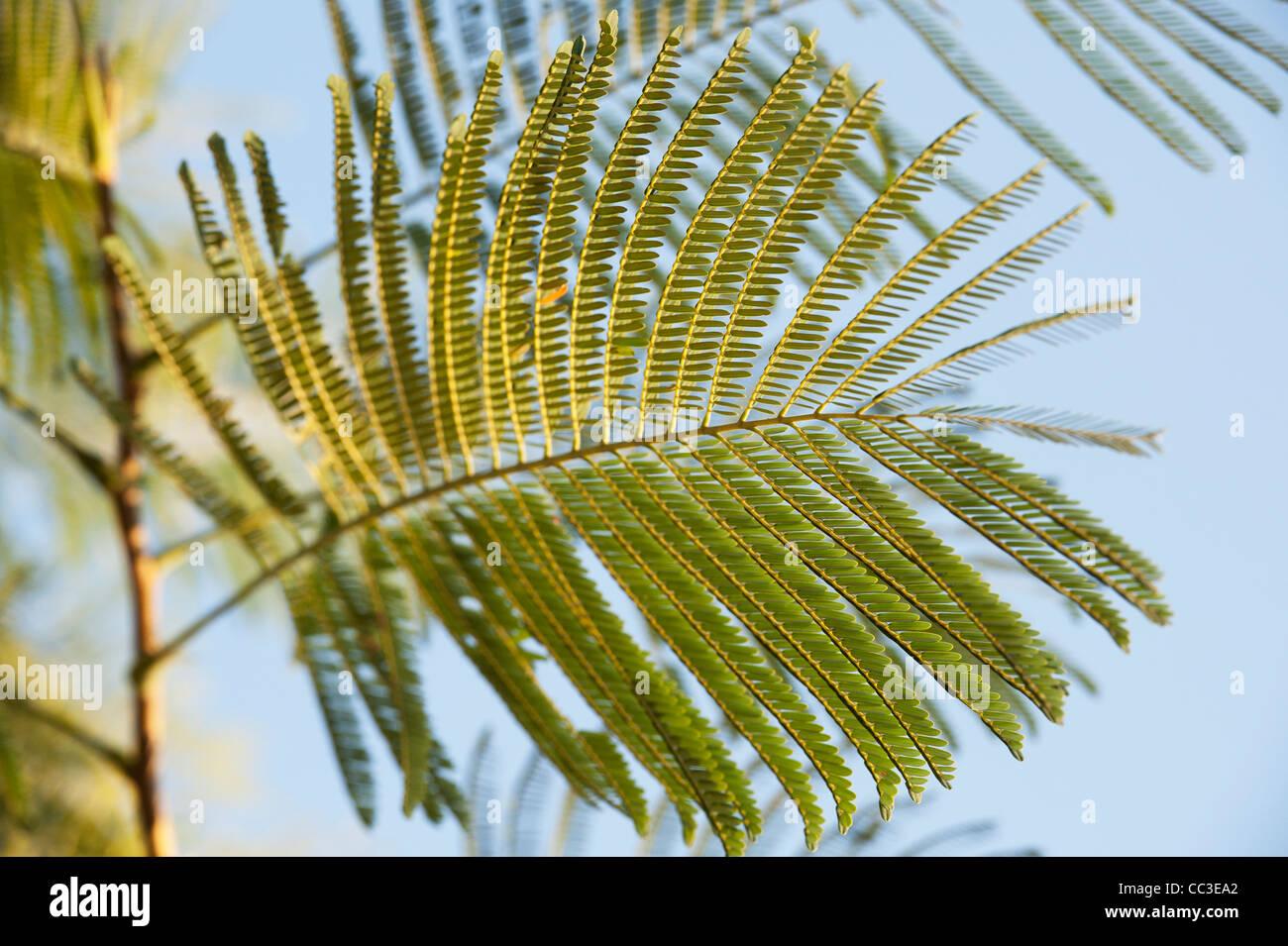 Albizia chinensis. Silktree leaf pattern. India - Stock Image