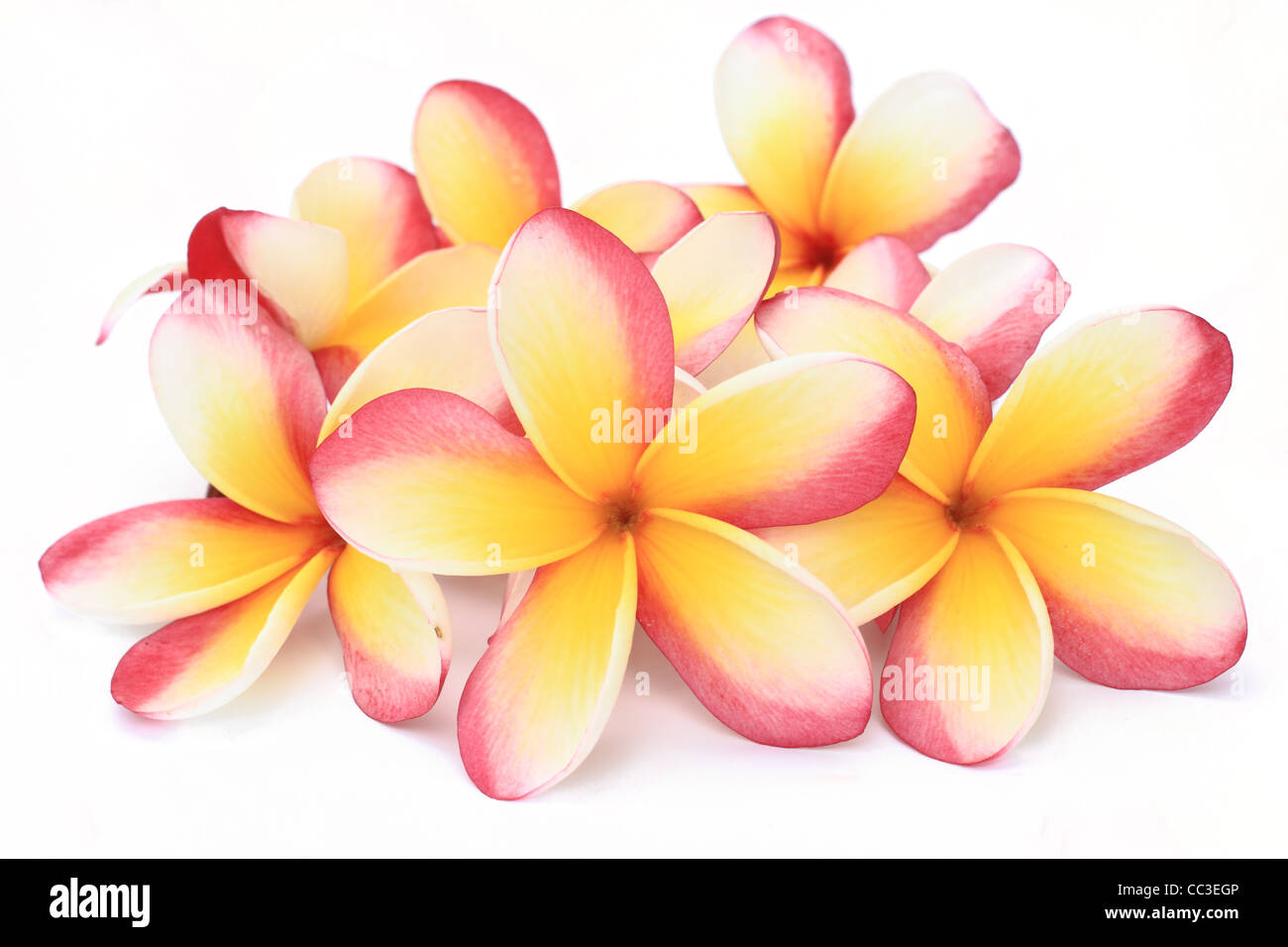 Frangipani Flowers On White Background Stock Photo 41873910 Alamy