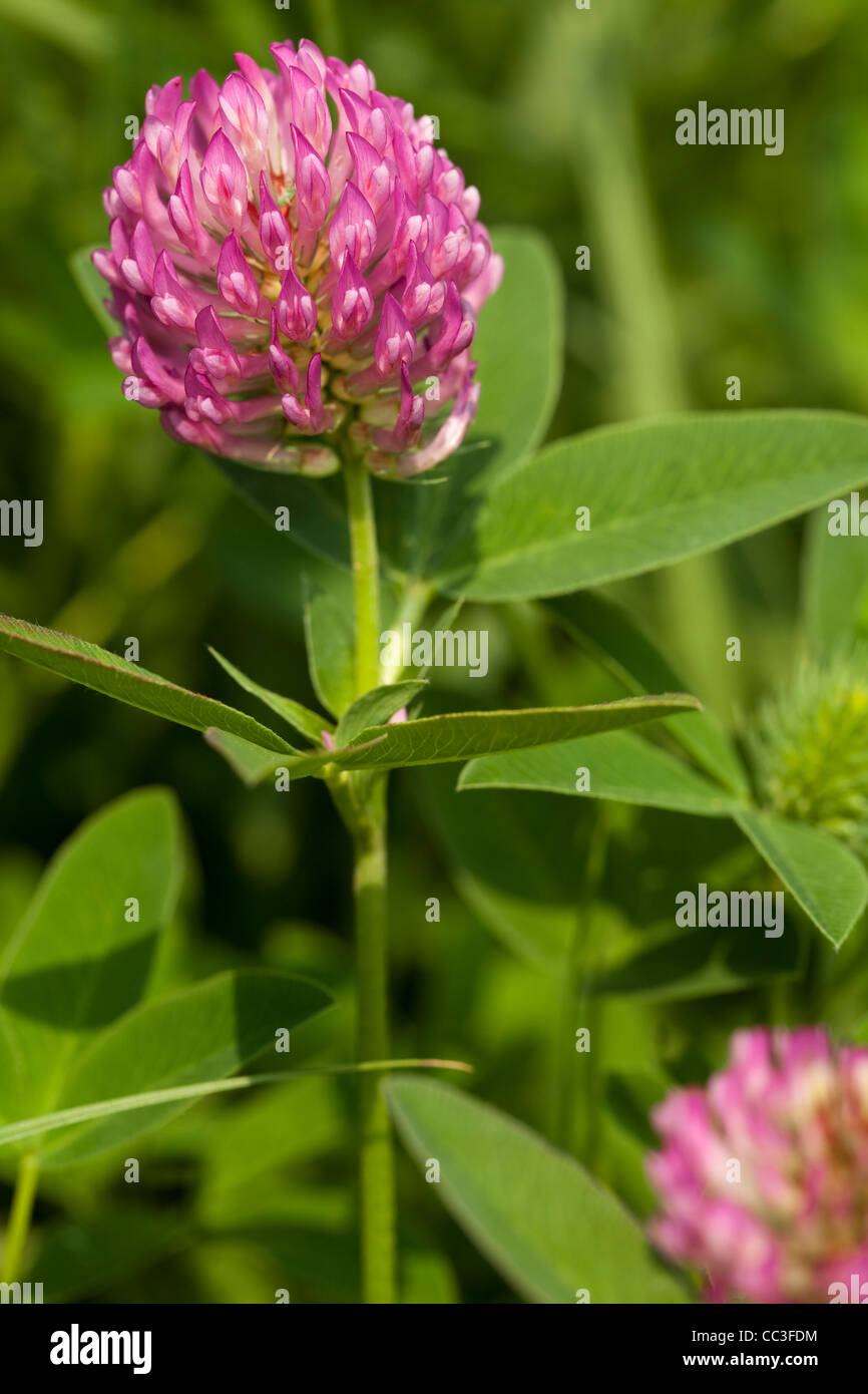Leaf Flower Plant Purple Clover Stock Photos Leaf Flower Plant