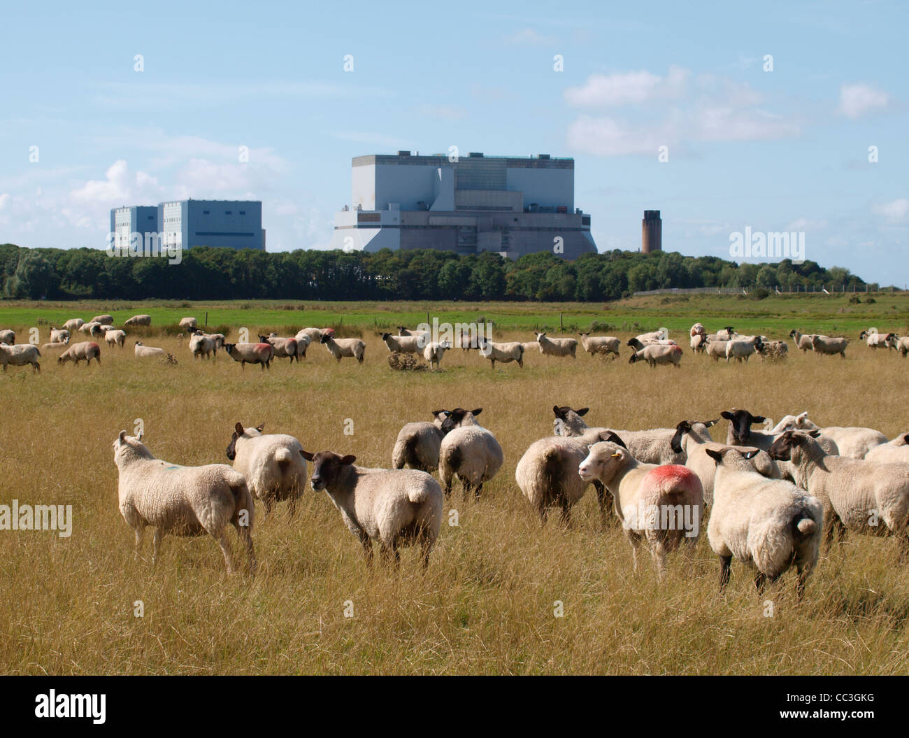 Sheep in front of Hinkley Point nuclear power station, Somerset, UK - Stock Image