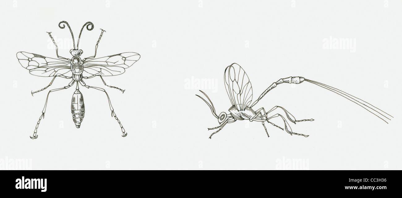 Zoology - Insects - Hymenoptera - Ichneumonidae - Gasteruptiidae Male And Female. Drawing. - Stock Image