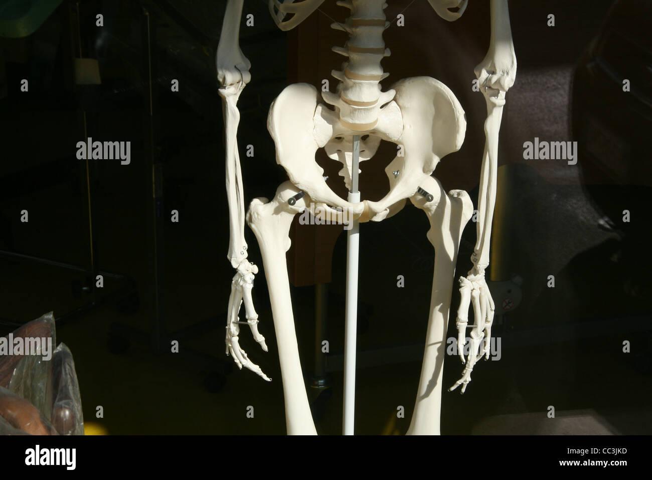 Human Bones In Arms Hands Stock Photos Human Bones In Arms Hands