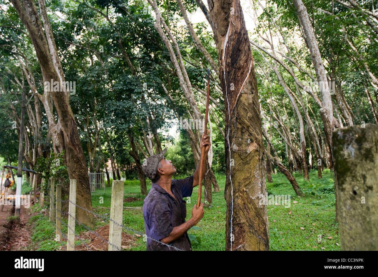 Worker tapping natural rubber from in a rubber tree plantation in Sri Lanka. Stock Photo