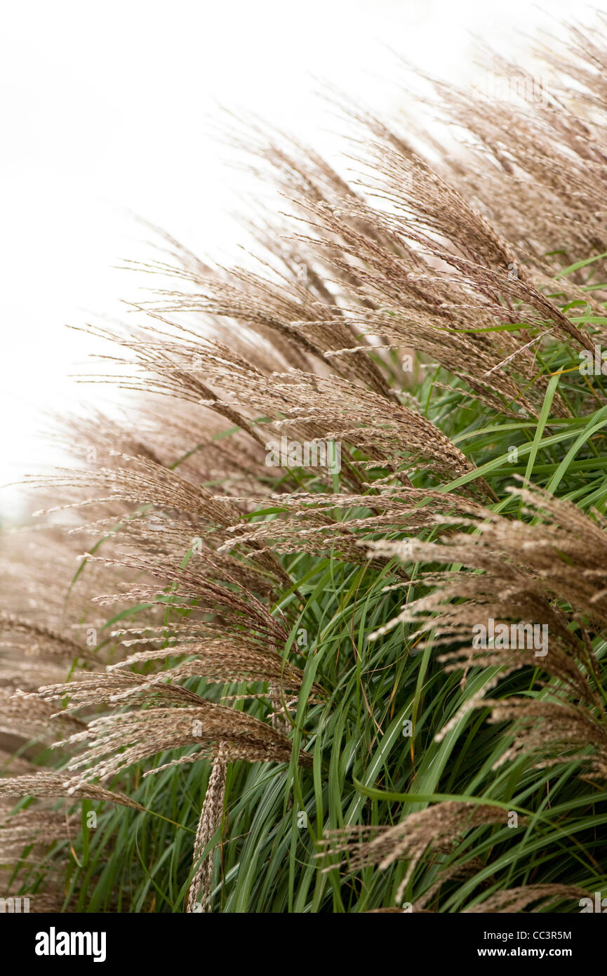 Miscanthus sinensis 'Krater' in autumn - Stock Image