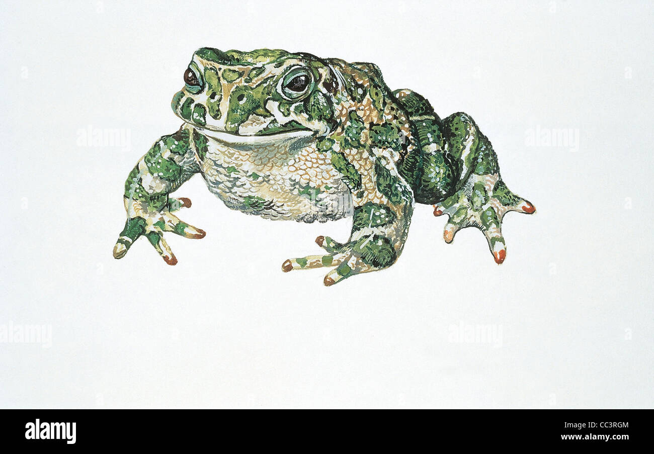 Zoology: Amphibians Toad (Bufo Viridis) Design - Stock Image