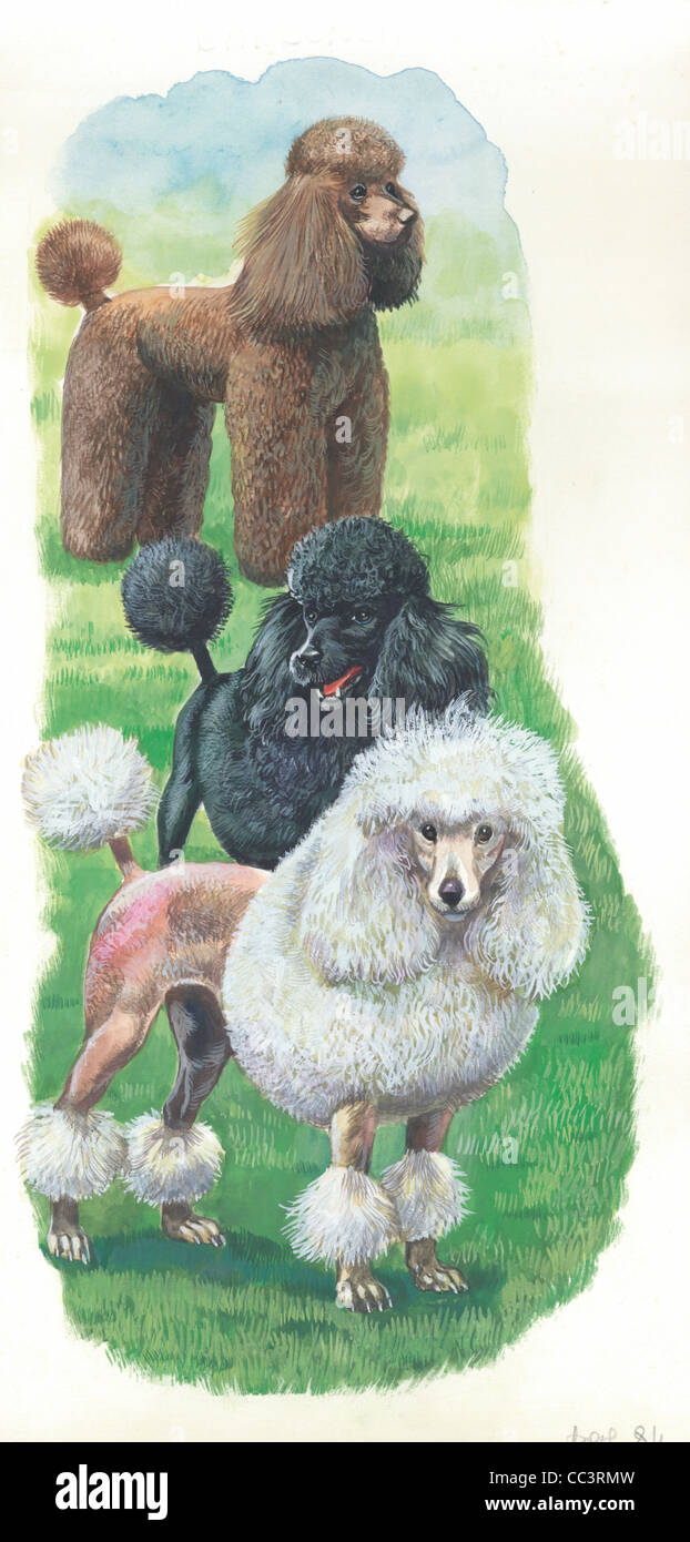 Zoology. Poodles. Drawing - Stock Image