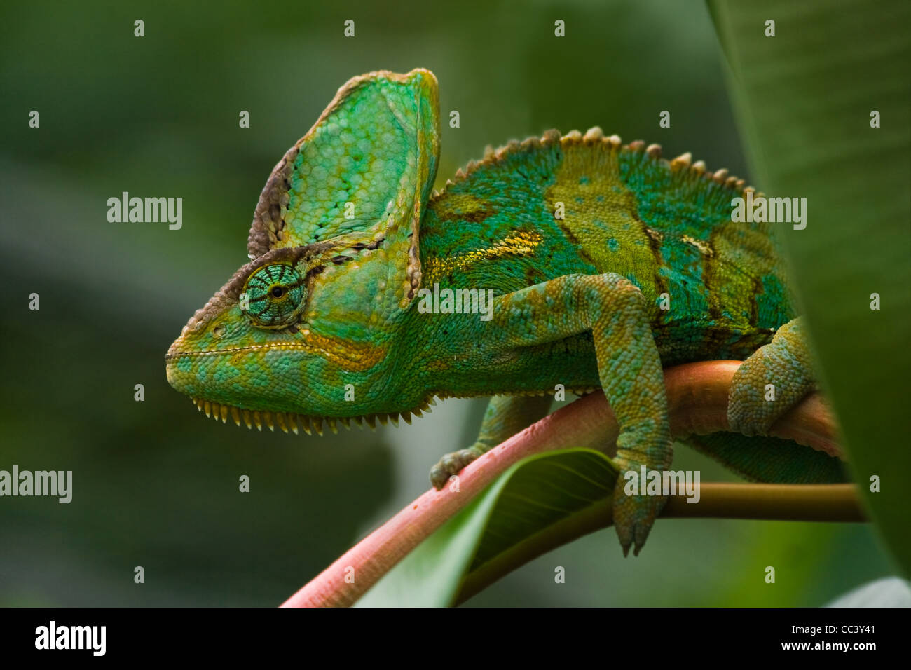Beauitiful green Jemen chameleon or Chamaelio calyptratus climbing a branch and looking around - Stock Image