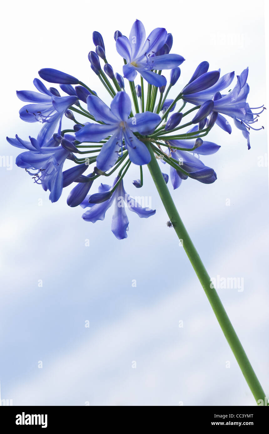 Lily of The Nile or Agapanthus africanus - Blue flowers in summer with sky as a background Stock Photo