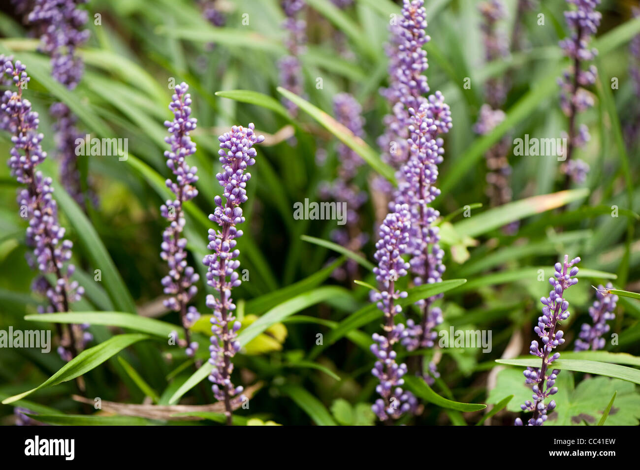 Liriope Muscari Agm Big Blue Lilyturf Stock Photo 41885617 Alamy