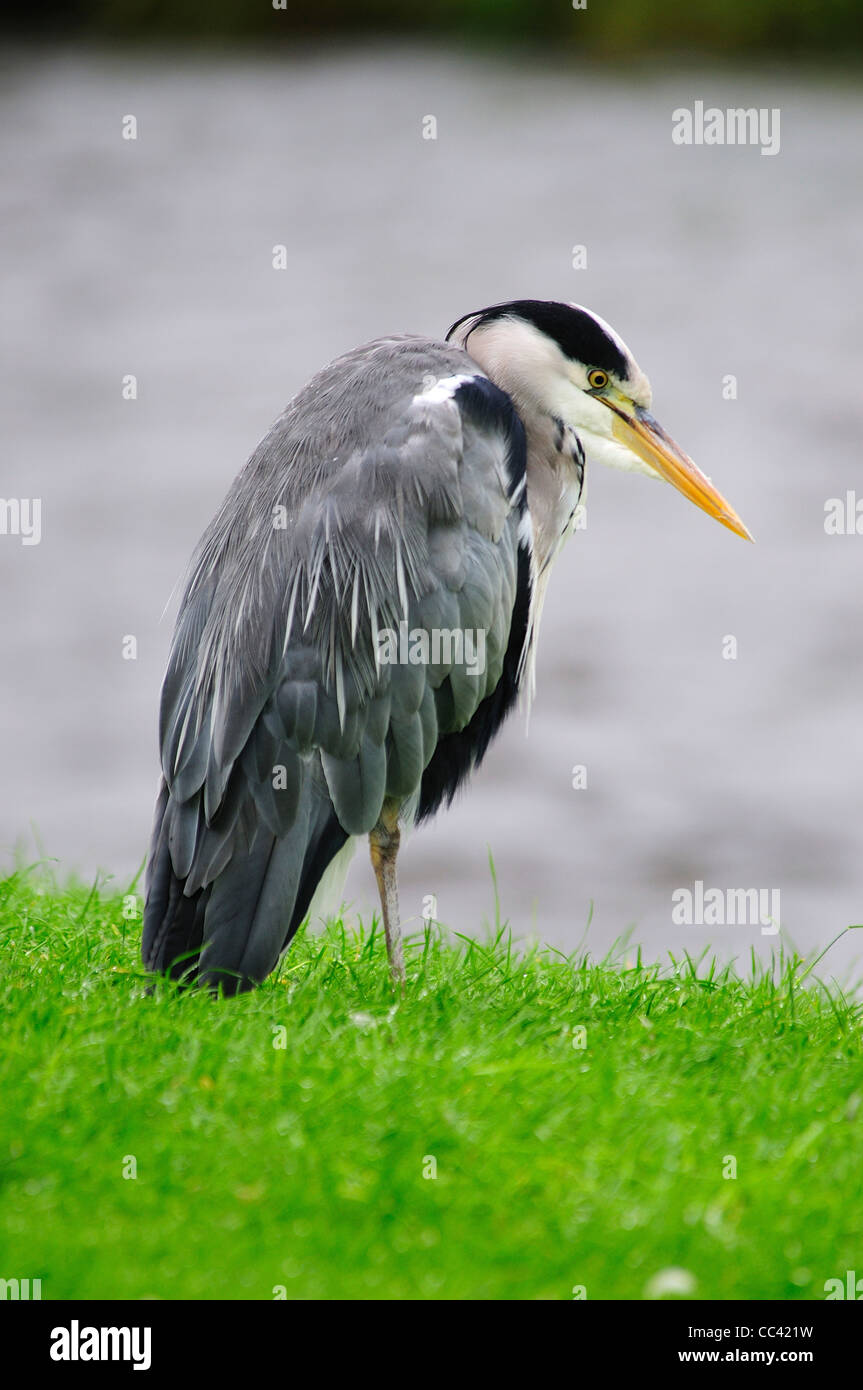 A heron waiting patiently for his next meal UK long bill beak - Stock Image