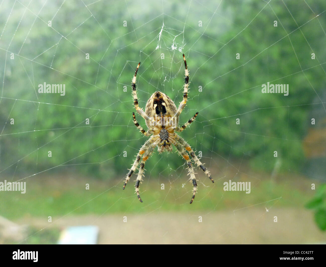 A Garden Spider (Araneus diadematus) - Stock Image
