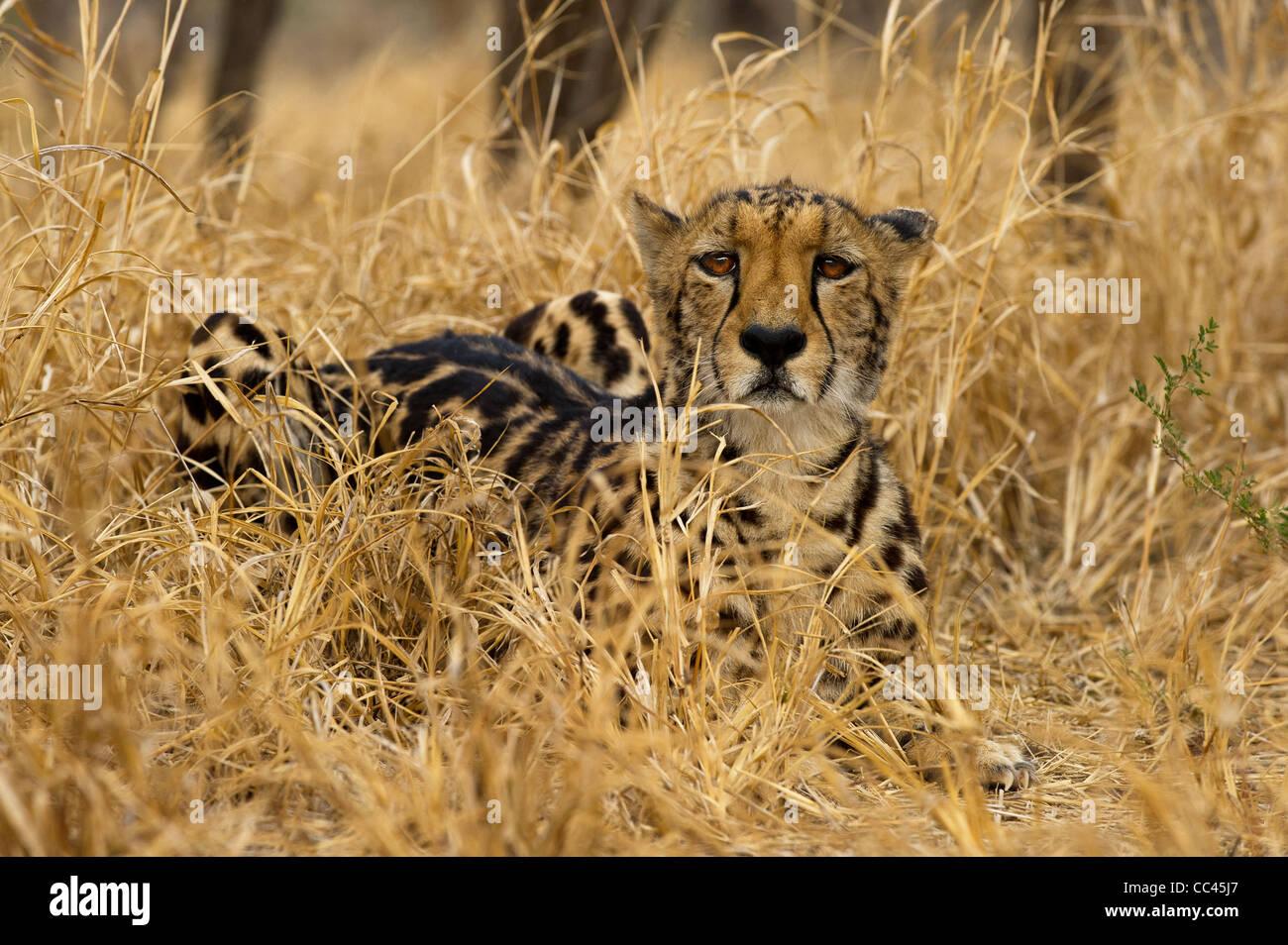 A King Cheetah resting - Stock Image