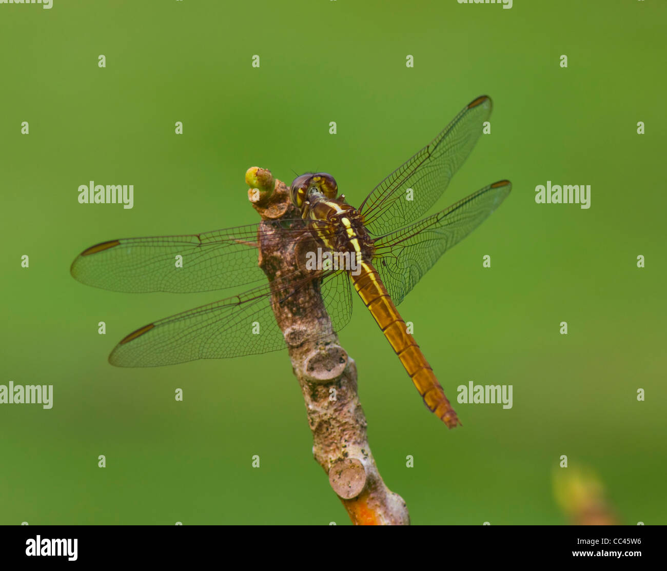 Dragonfly, Costa Rica - Stock Image