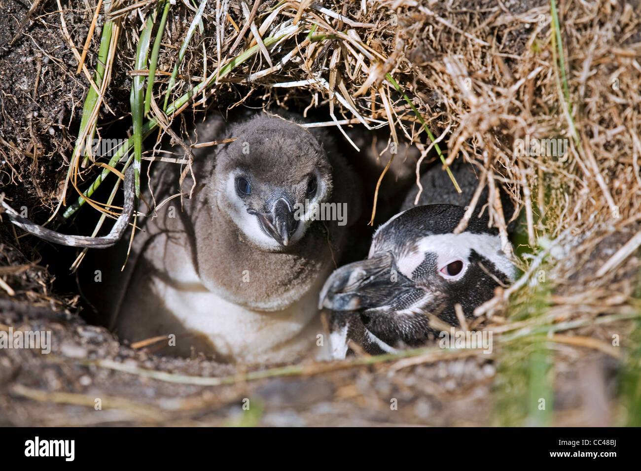 Magellanic Penguin (Spheniscus magellanicus) with chick in burrow, Isla Yecapasela at Estancia Harberton, Ushuaia, - Stock Image