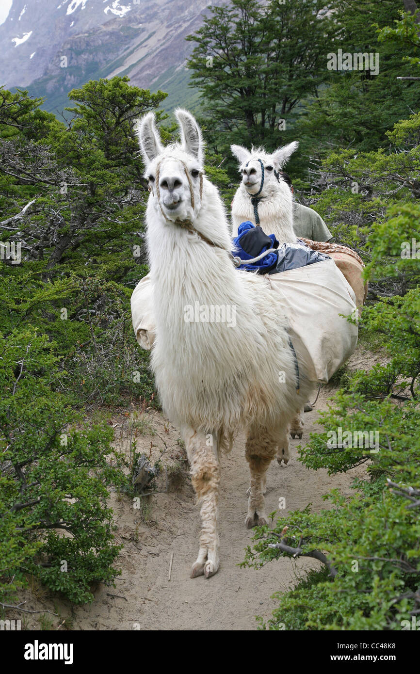 Two llamas (Lama glama) with load on hiking trail in the Andes near El Chalten, Argentina - Stock Image