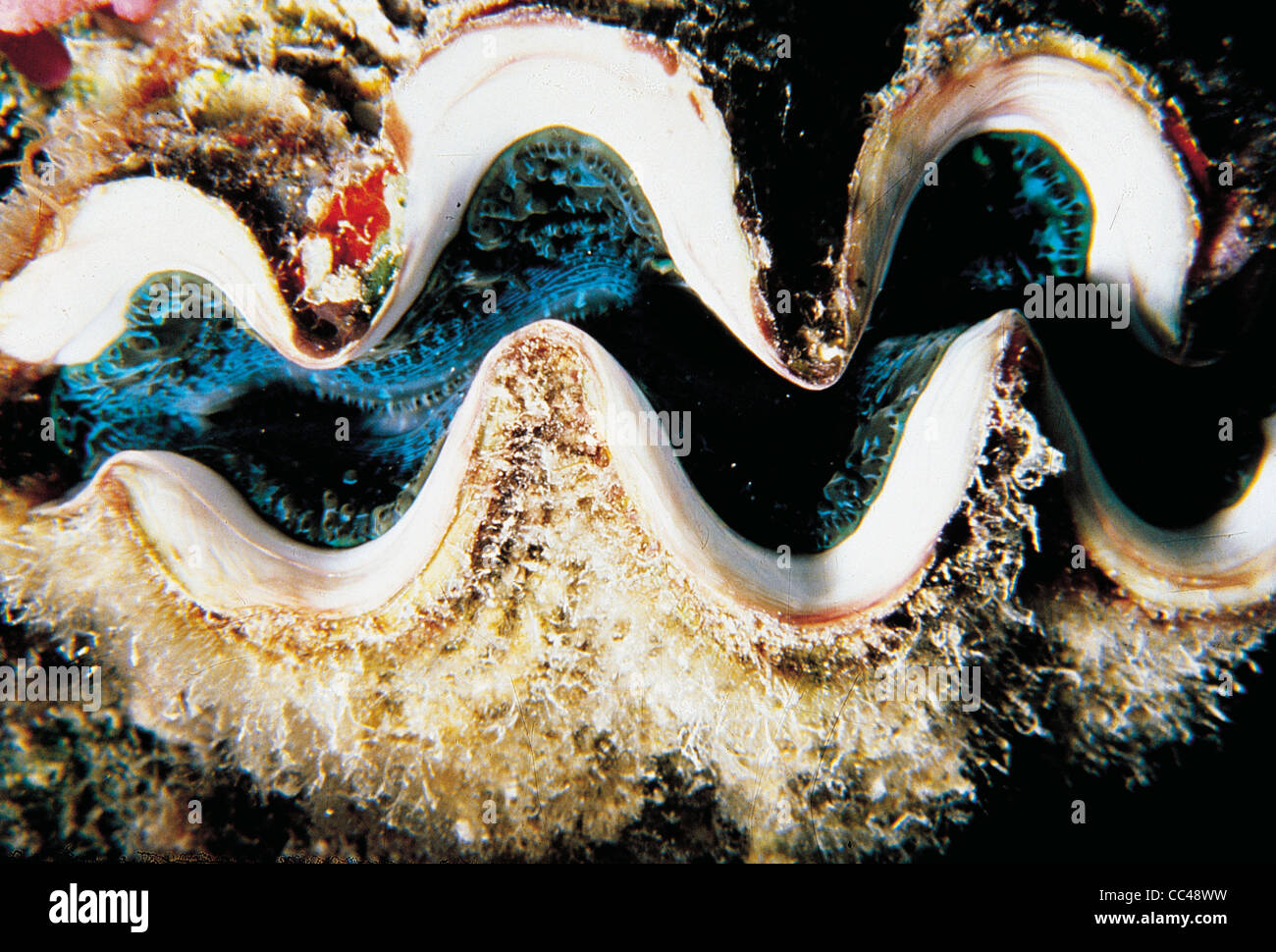 Molluscs: Bivalve Giant Clams (Tridacna Gigas) Australia Great Stock ...