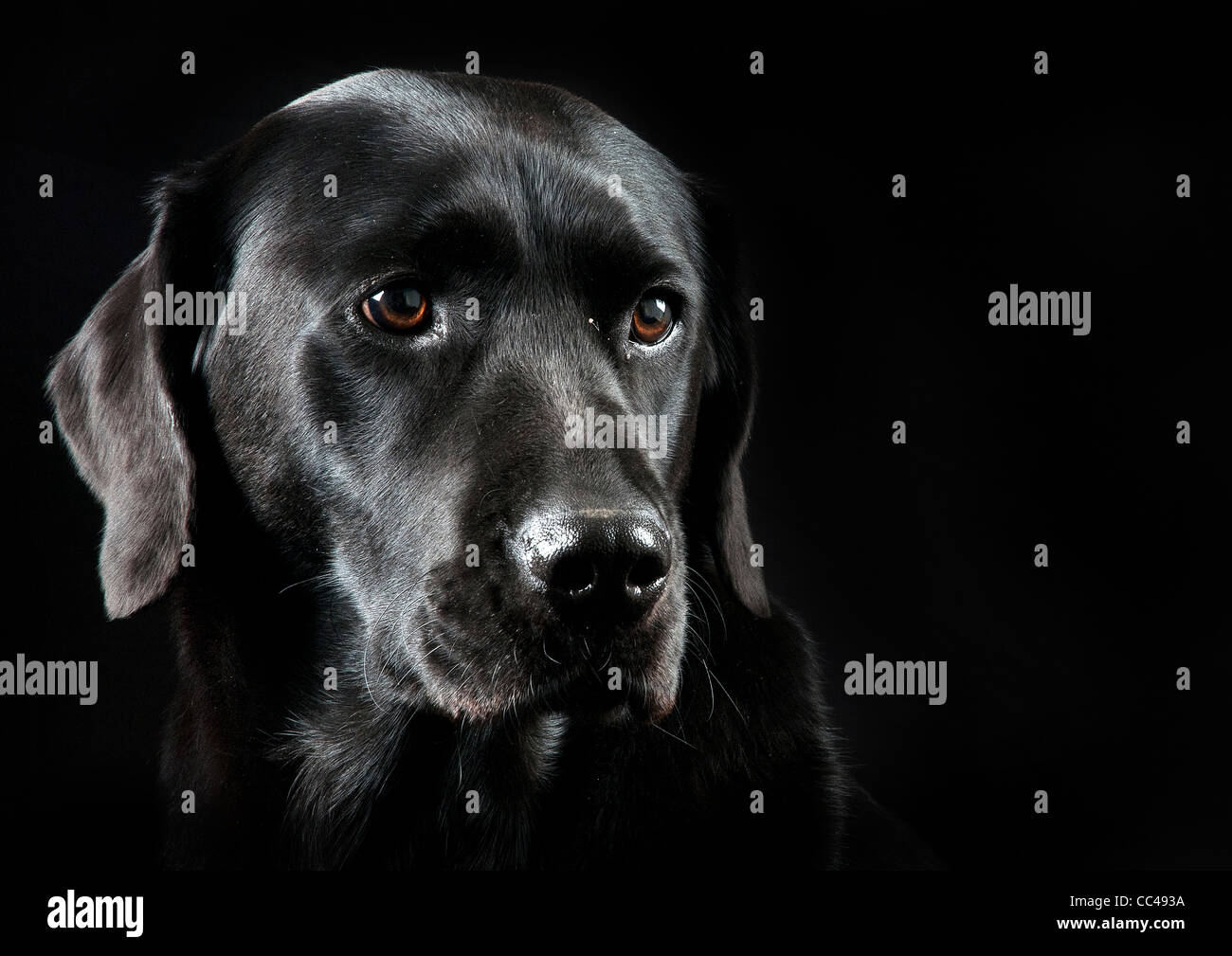 A Black Labrador with a black back drop. - Stock Image