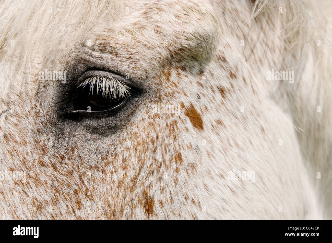 Close up image of a horse's eye - Stock Image