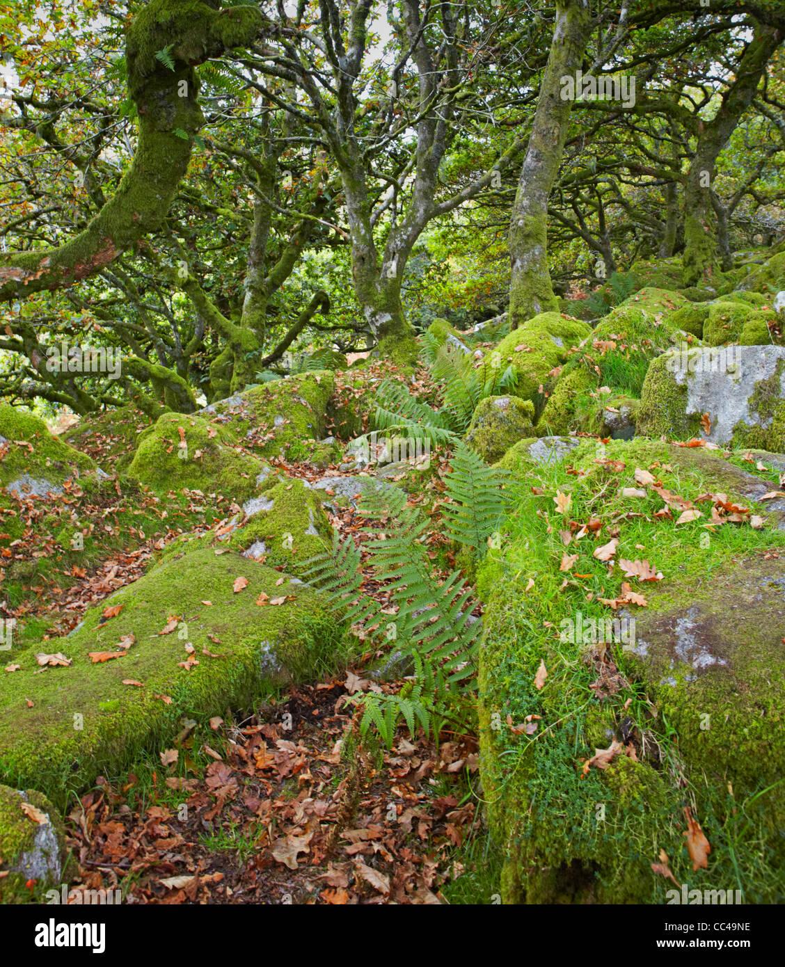 Dartmoor National Park Wistman's Wood - Stock Image