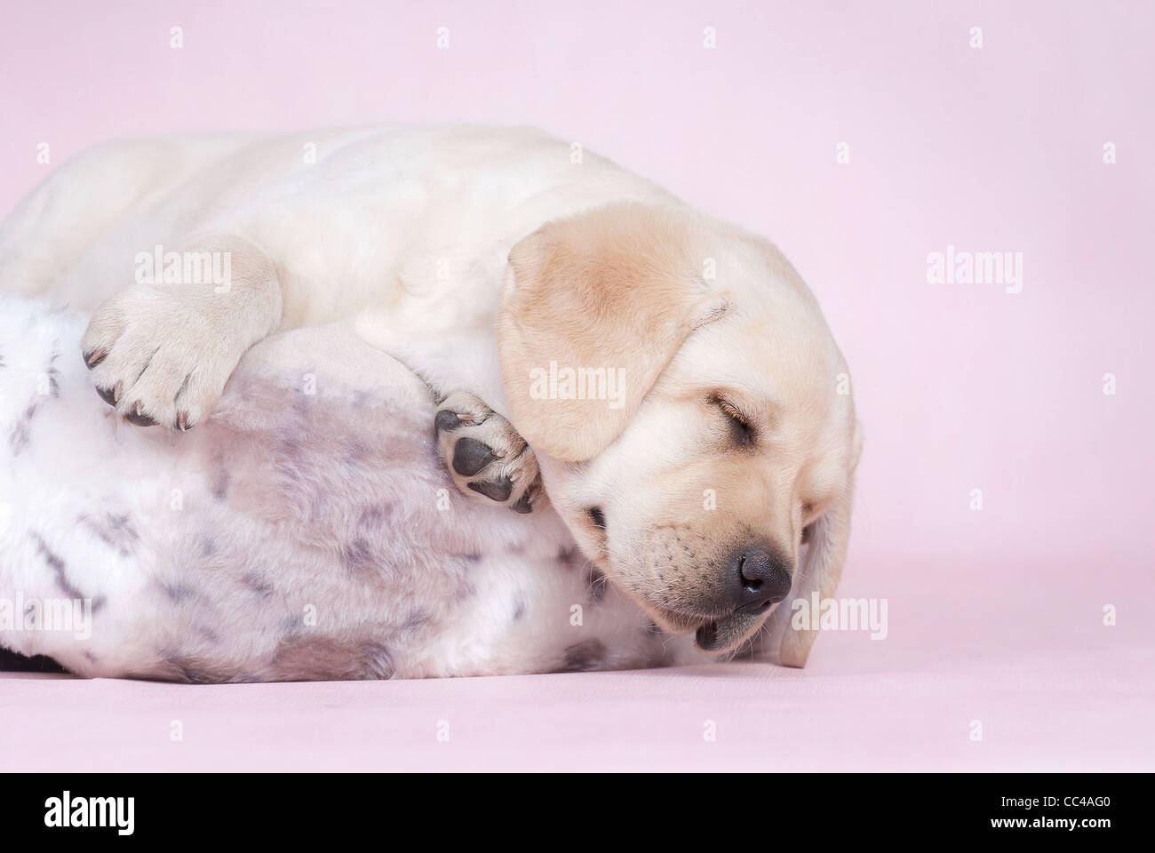 Sleeping labrador puppy at pink background - Stock Image