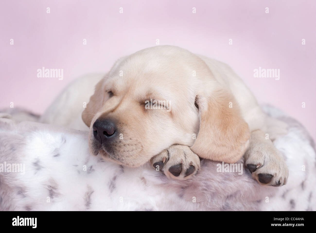 Sleeping labrador puppy at pink background - Stock Image