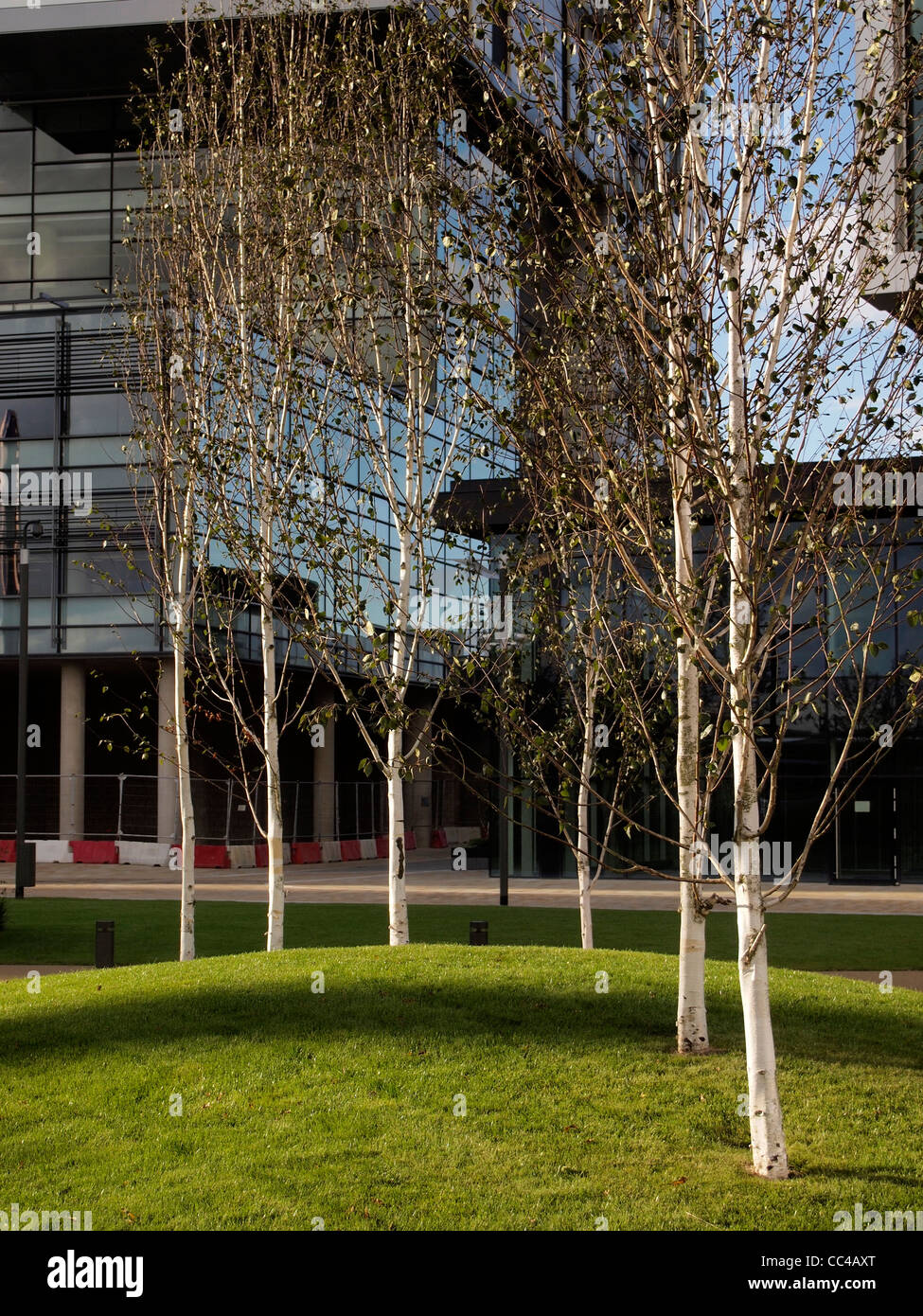 Line of white barked birches on green mounded lawn in autumn against glass fronted building at Salford Quays - Stock Image