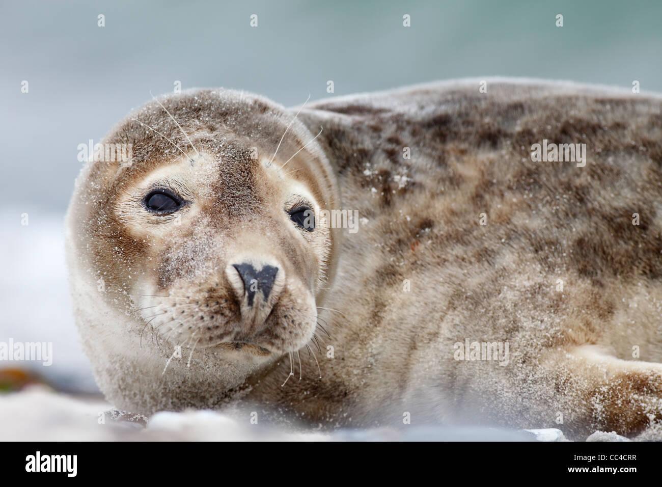 portrait of juvenile grey seal; Latin: Halichoerus grypus Stock Photo