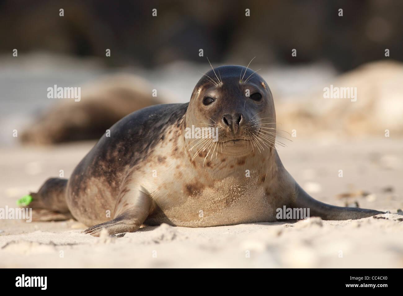 grey seal; Latin: Halichoerus grypus - Stock Image