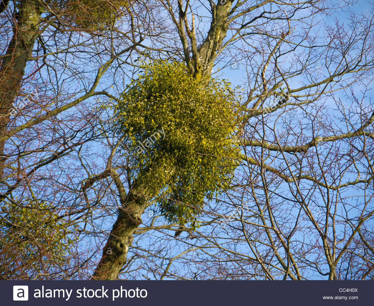 European mistletoe attached to Host Tree close up - Stock Image