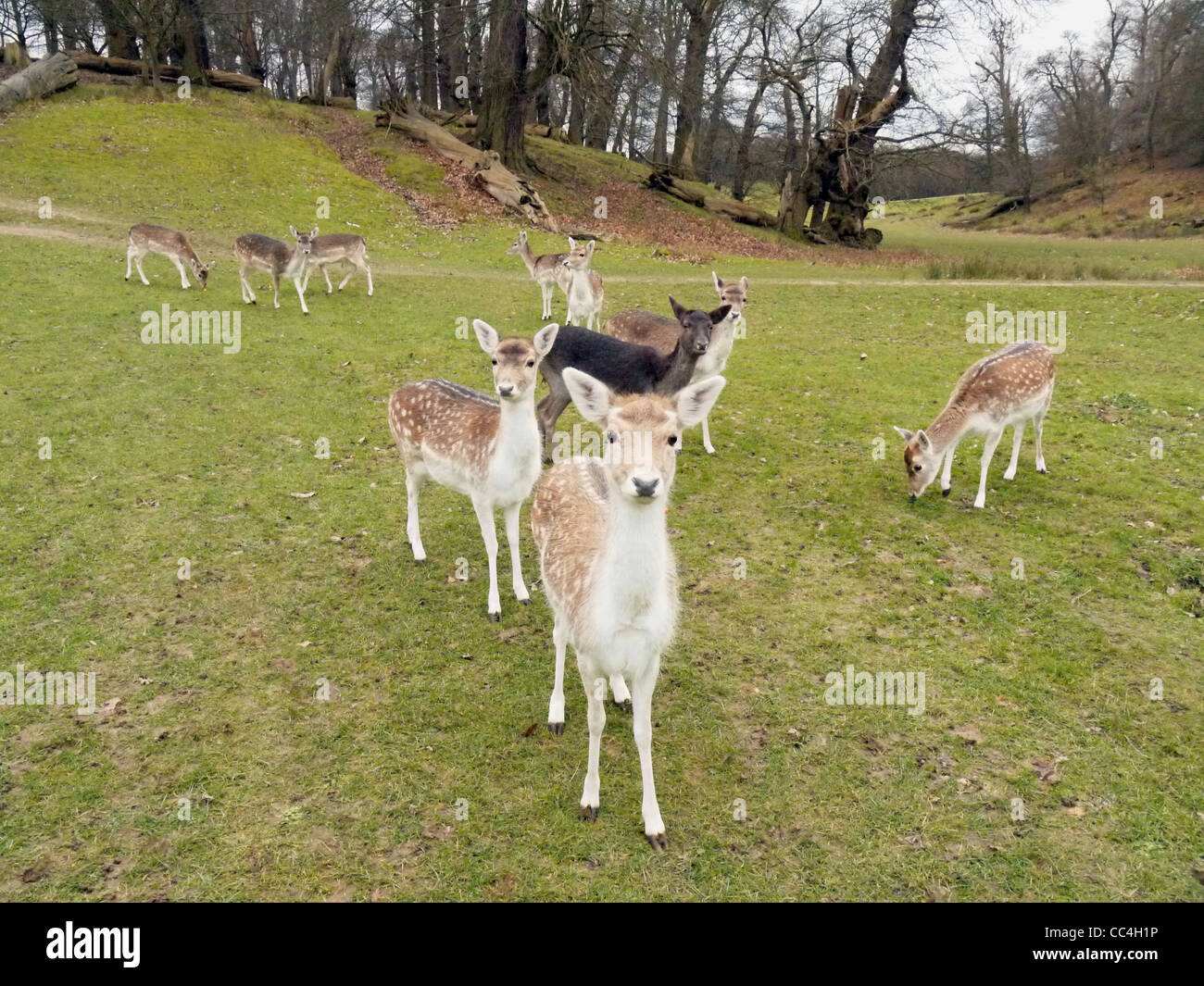 Image of lots of tame deer in Knole Park Sevenoaks - Stock Image