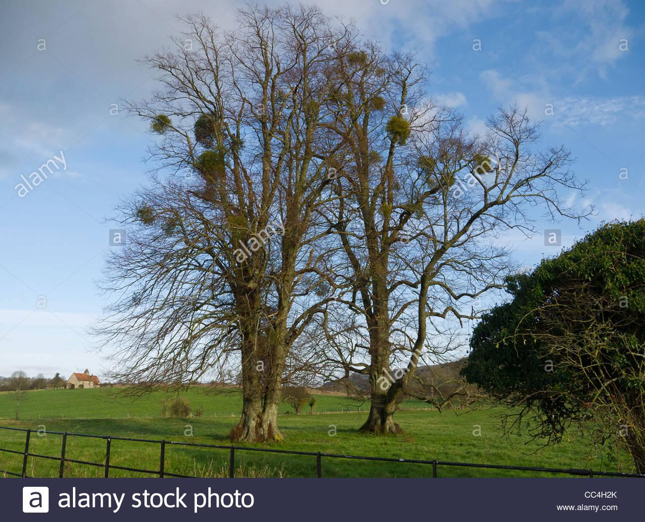European mistletoe attached to Host Tree Full Length Landscape - Stock Image