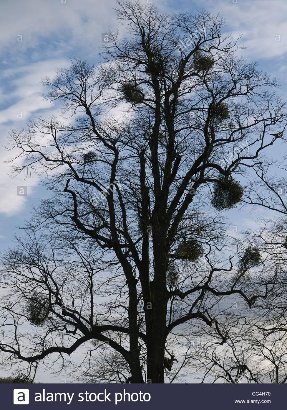 European mistletoe attached to Host Tree Silhouette - Stock Image