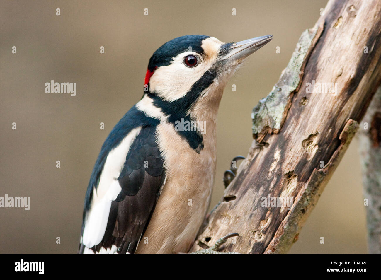 Great Spotted Woodpecker Adult Male on Rotten Branch Stock Photo