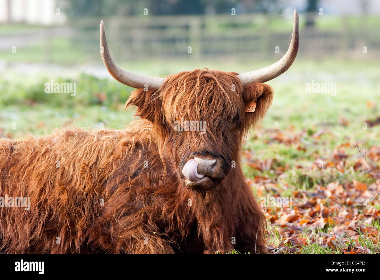 Highland Cow Licking Nose Close up on frosty autumn day - Stock Image